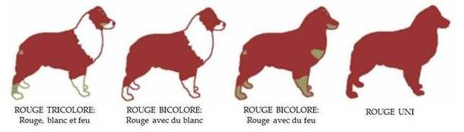 couleur rouge berger australien