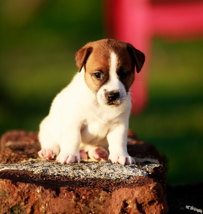 chiot jack russell terrier LOF