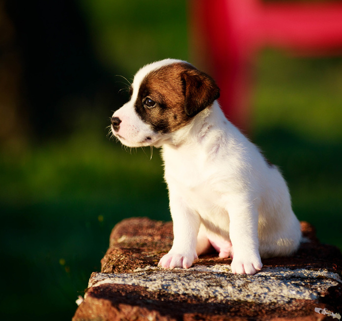 Photo chiot jack russel poil court