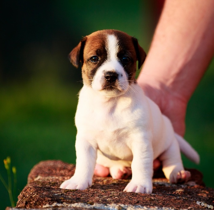 chiot jack russell poil court
