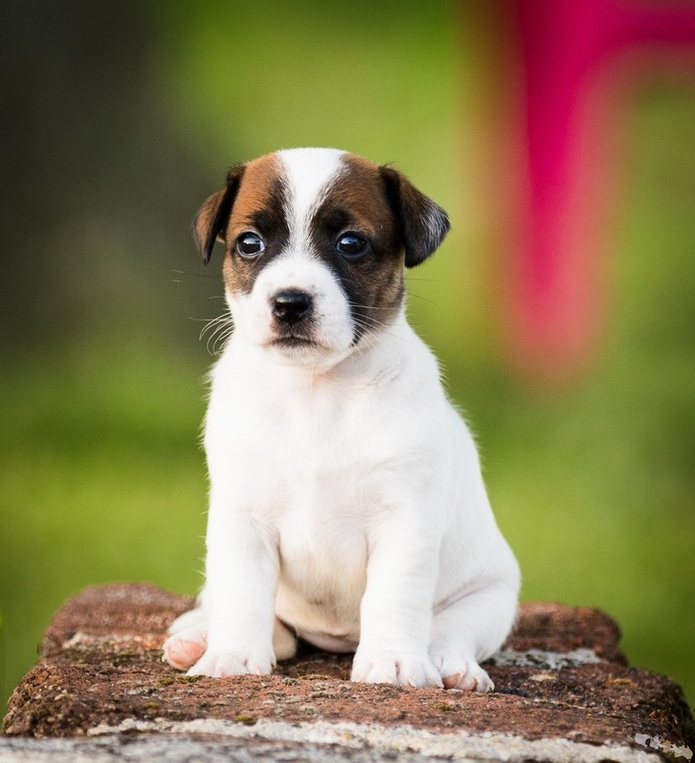 photo Chiot Jack Russell lisse