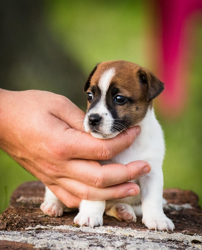 Chiot Jack Russell poil lisse