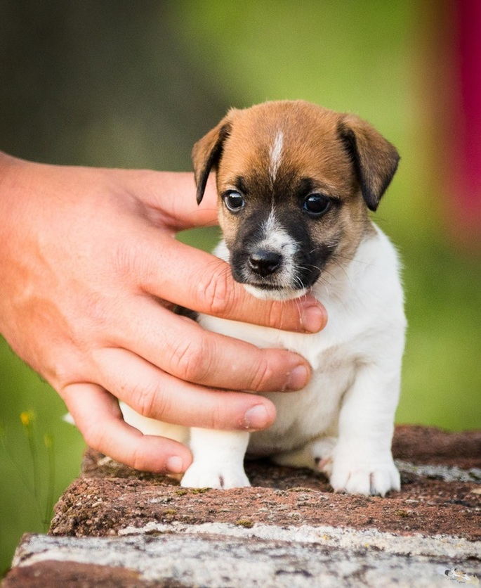 Chiot Jack Russell poil ras