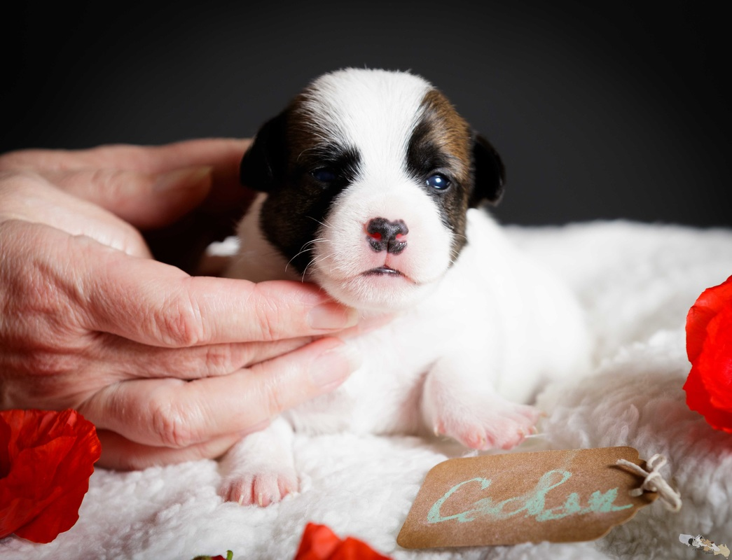 chiot jack russell 2 semaines