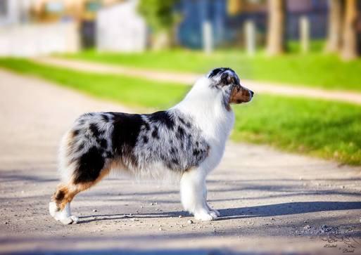 standard berger australien lof fci chien de taille. Black Bedroom Furniture Sets. Home Design Ideas