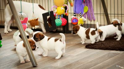 socialisation textures élevage chiot jack russell