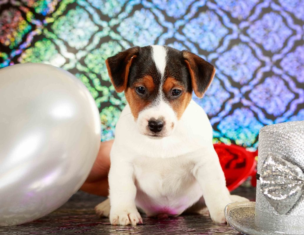 Jack Russell tricolore lisse