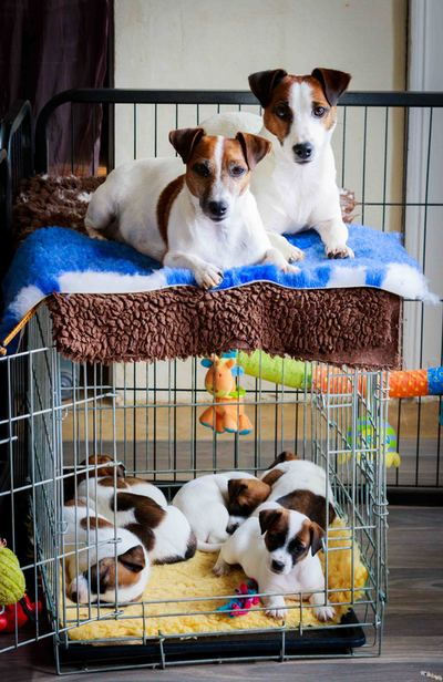 apprentissage caisse transport chiot jack russell