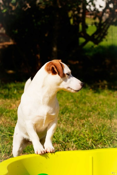 JACK RUSSELL TERRIER LISSE