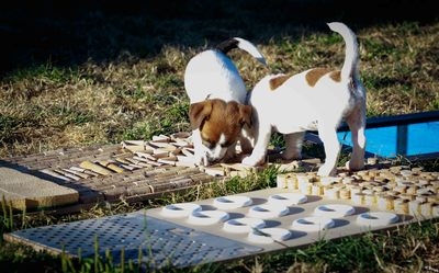 sociabilisation proprioception chiots jack russell terrier