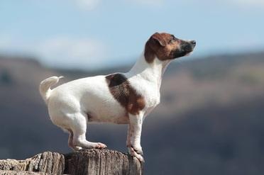 Caract re jack russel terrier education jack russel terrier elevage d austral et boreal - Jack russel queue coupee ...