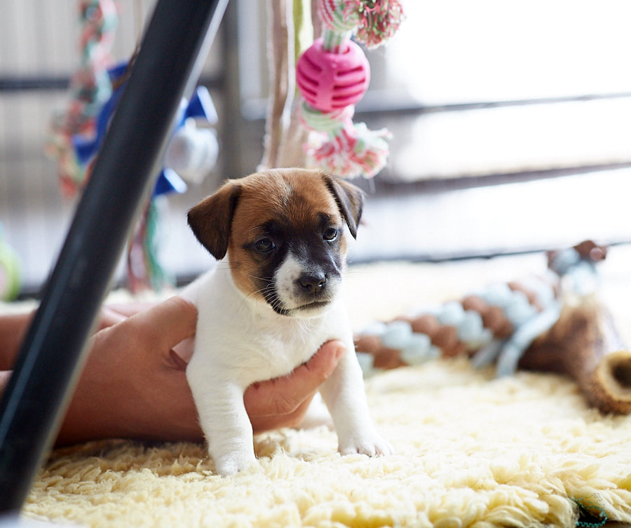 chiot jack russel terrier poil lisse