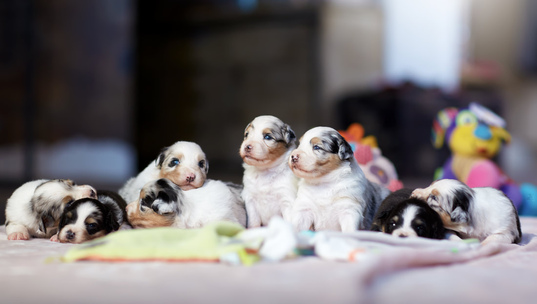 chiots bergers australiens 3 semaines