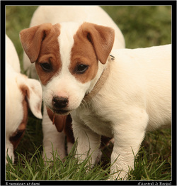 Identification et primovaccination chiot Jack Russell d'Austral et Boreal
