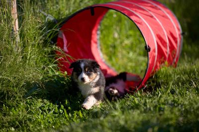 tunnel agility chiots bergers australiens