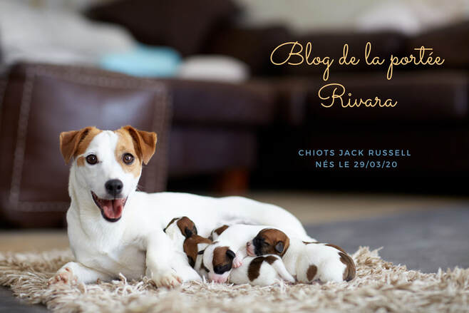 blog developpement chiot jack russell