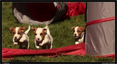 sociabilisation agility chiots jack russell terrier